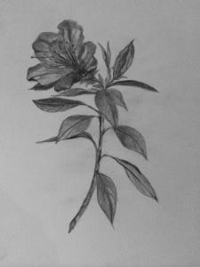 Azalea Drawing Glodt